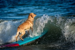 dog surfing on the surf board on the sea