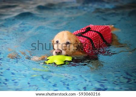 Dog swimming, Golden Retriever, dog wet #593060216