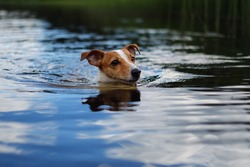 dog swimming in the lake, cute jack russell terrier
