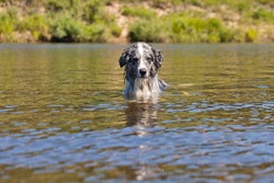 Dog swimming in the river in the summer heat