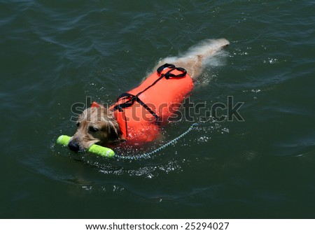 dog swimming with a life jacket and fetching a toy