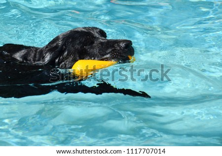 Stock Photo Dog swimming with a toy