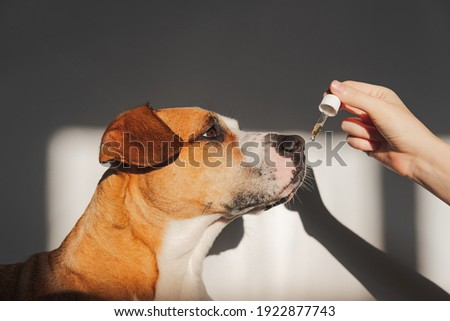 Dog taking essential oil from dropper. Nutritional supplements, calming products, cbd or thd oils for pets Foto stock ©