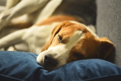 Dog tired sleeps on a couch. Funny pose. Beagle on sofa.