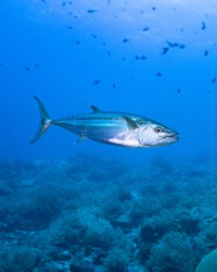 Dog tooth tuna swimming around a reef in Tubbataha national reef park in Philippines
