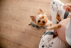 Dog touching pregnant female's belly. Pregnant woman with her dog at home. Top horizontal view copyspace