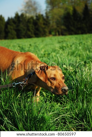 Dog tracking in grass field