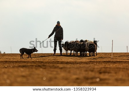 dog training australian kelpie in a herd of sheep and goats