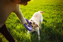 Dog tries to get the toy from the owner's hand. Cheerful and happy dog labrador retriever plays with his young woman owner on a green field on the sunset at spring. Active pet concept