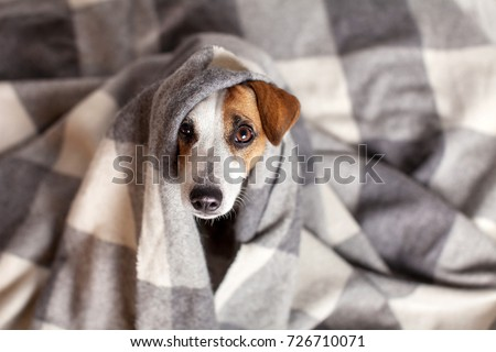 Dog under a plaid. Pet warms under a blanket in cold autumn weather