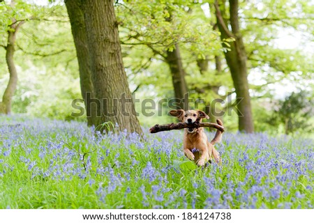 Dog walk through the bluebells in rural England #184124738