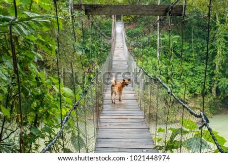 Dog Walking on the Suspension Bridge in Tangkahan, Indonesia