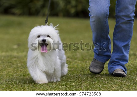 Dog walking / White Maltese dog walking in the garden with owner