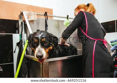 dog wash before shearing. Berner Sennenhund