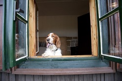 Dog watching out of old window