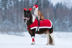 Dog wearing a hat of santa claus riding on the back of a pony dressed up for Christmas.  American staffordshire terrier dog and paint color pony at Christmas.