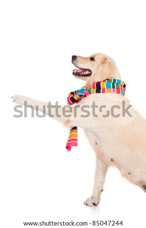 dog wearing a scarf gives paw