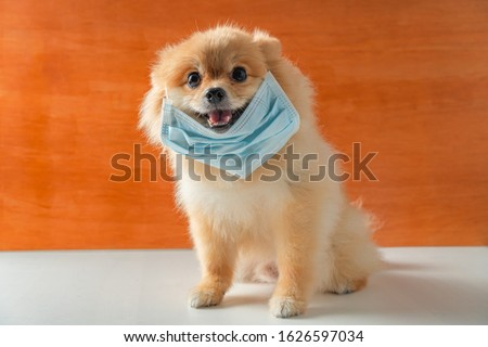 Dog wearing air pollution mask for protect dust PM2.5,Pomeranian, small breed dogs, put on a health mask sit on a white table,Concept virus, coronavirus protection.