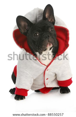dog wearing coat - french bulldog wearing red and grey dog coat on white background