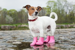 dog wearing pink rubber boots inside a puddle