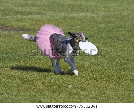 Dog wearing skirt running with frisbee in mouth