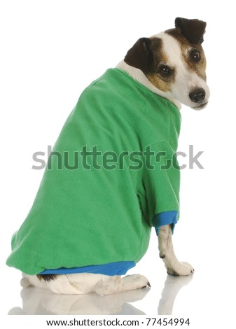Knitting Pattern For Jack Russell Dog Coat : Dog Wearing Sweater - Jack Russel Terrier Wearing Green Dog Coat On White Bac...