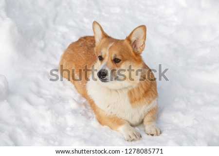 Dog Welsh Corgi cardigan plays in the winter in the snow for a walk