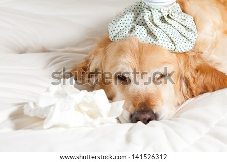 Dog with a bag of cold water on his head