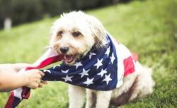 Dog with american flag bandana