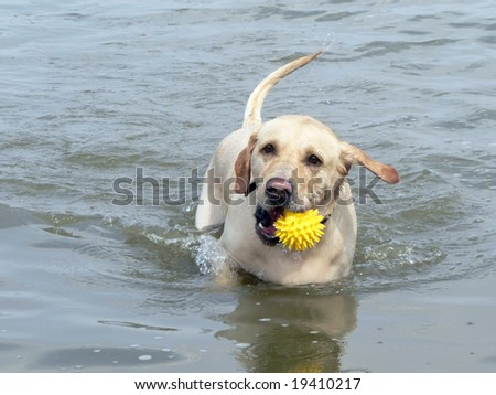 Dog with ball in teeth runs on water