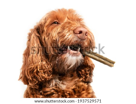 Dog with dental chew bone in mouth. Happy Labradoodle dog with long stick to the side, like a cigar. White teeth and fangs visible. Concept for dental health treats for dogs. Selective focus.