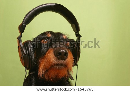 Dog with earphones on his head