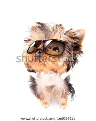 dog with fashion shades on a white background