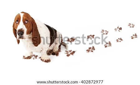 Dog with guilty expression and muddy paws tracks dirt on white floor