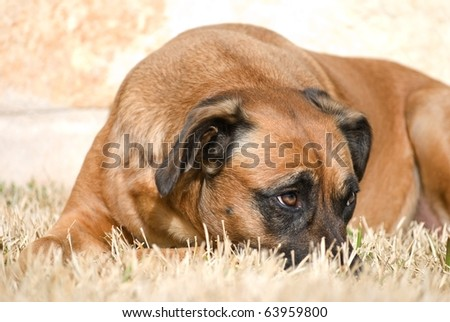 Dog with head down and a sheepish expression with raised eyebrow