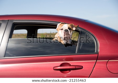 Dog with Head out Window moving Car motion