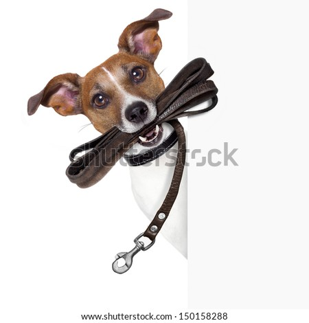 dog with leather leash waiting to go walk