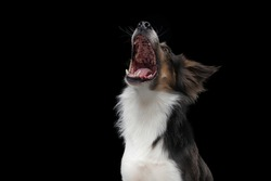 dog with open mouth catches a piece. Funny muzzle border collie. Wide angle. pet food