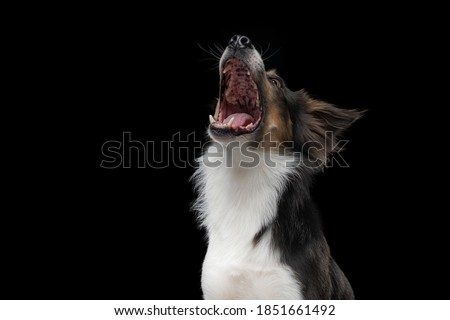 dog with open mouth catches a piece. Funny muzzle border collie. Wide angle. pet food Foto stock ©