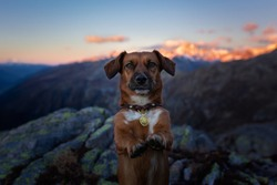 Dog with paws up at the Peak in Swiss Alps in front of a beautiful mountain scenery. Hiking with dog. Dog in the mountains.