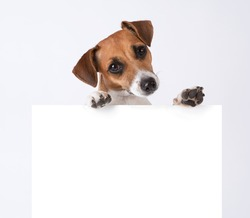 Dog with placard. Jack Russel terrier above white banner. template for gift certificate. Mockup