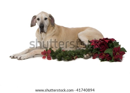 Dog With poinsettias