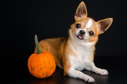 Dog with pumpkins. Chihuahua on black background