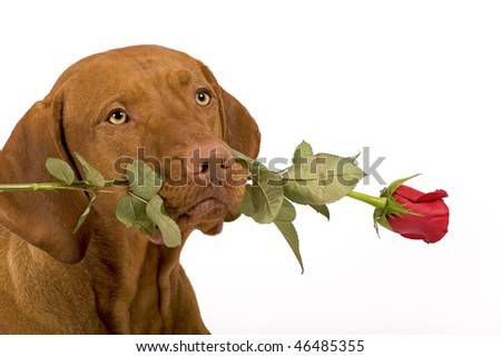 dog with red rose in mouth