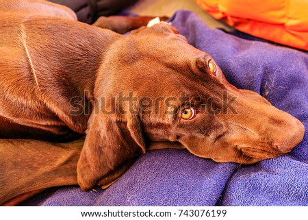 Dog with sad yellow eyes. Sad eyes, wrinkled brows, and averted eyes are not signs of shame.