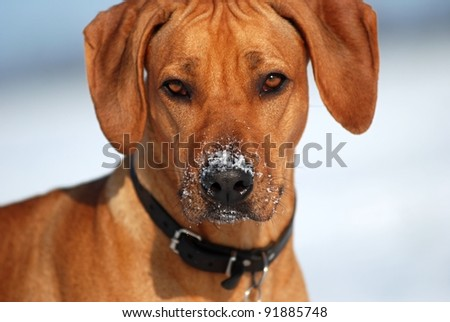 Dog with snowy nose