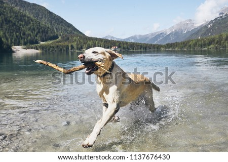 Dog with stick in mountains. Happy labrador retriever running in lake. Alps, Italy #1137676430
