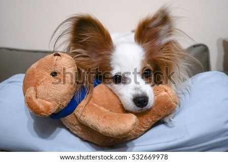 Dog with teddy bear. Sleepy Dog with a new stuffed animal soft toy, selective focus, Continental Toy Spaniel Papillon Dog Breed, Pure Breed. Soft focus on eyes, grained filter