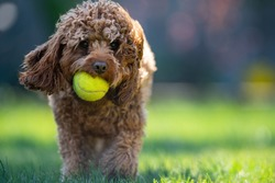Dog with tennis ball in mouth and bokeh background