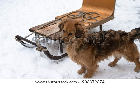 Dog with winter sledding. A small red dog standing on a snowy ground. Foto stock ©